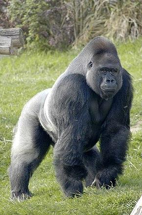 290px-Gorille_des_plaines_de_l'ouest_à_l'Espace_Zoologique.jpg