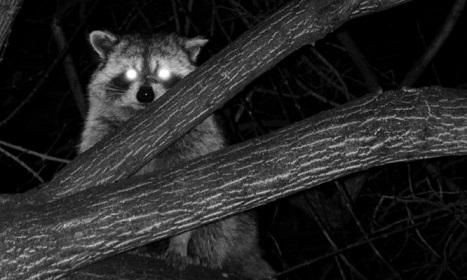 hunting-raccoon-at-night.jpg