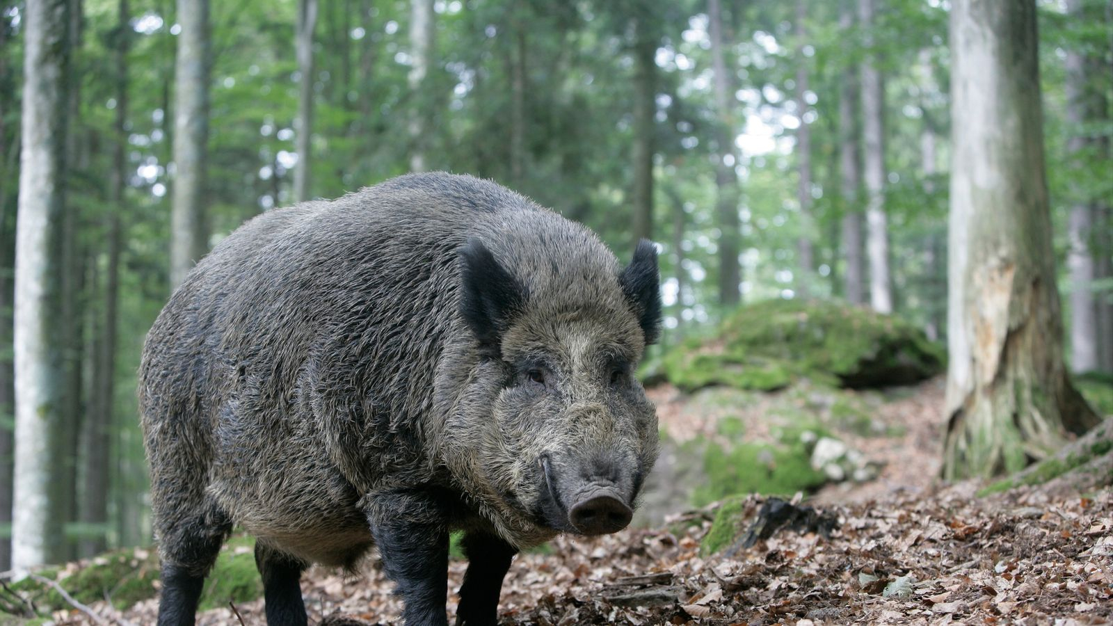 skynews-wild-boar_4497739.jpg