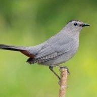 GrayCatbird42